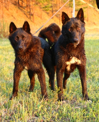 ВСЛ Басьма и ее щенок Хара II