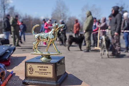 Иркутская городская выставка лаек и гончих
