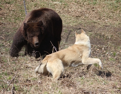 Испытания по подсадному медведю 10.05.2015