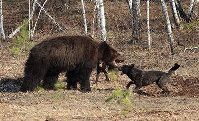 Испытания по медведю, 2016 г.